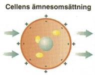 Cellens ämnesomsättning